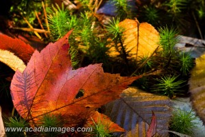 Fallen Maple Leaf in moss. Acadia National Park