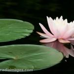 Water lily in serene dark water, wildflower in Acadia National Park.
