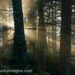 Rays of sun in the coniferous forest, Acadia National Park, Maine