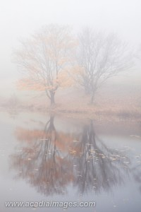 Foggy reflections of maple trees