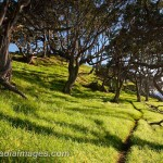 Ti Point, Northland, New Zealand. Path through forested pasture.