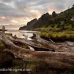 Remains of giant trees stuck in an estuary, Northland, New Zealand