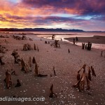 Stumps emerge from the sand at Rangihaeata, New Zealand