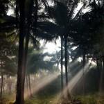 Sunlight Beams Through a Coconut Plantation, Atimonan, Luzon, Philippines