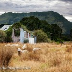 New Zealand Sheep grazing in neglected pasture with an old overgrown barn