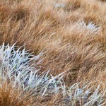 New Zealand Snow Flax and Tussock