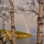 Rainbow Birches