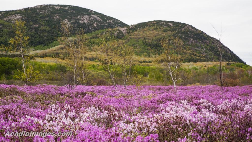 Rhodora flower growing in the dry heath, Acadia National Park, Maine