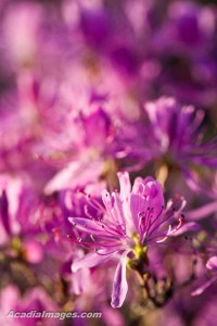 Close-up image of pink Rhodora blossom