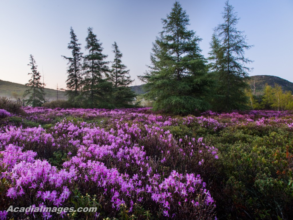 Rhodora flowers growing in the heath with tamarack trees behind